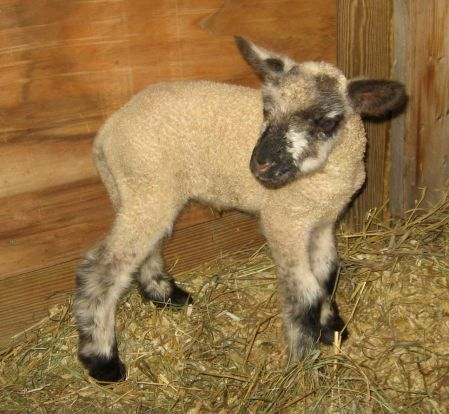 first lamb of 2009