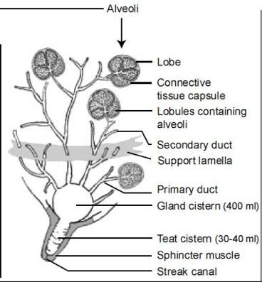 Anatomy of mammary gland of cow