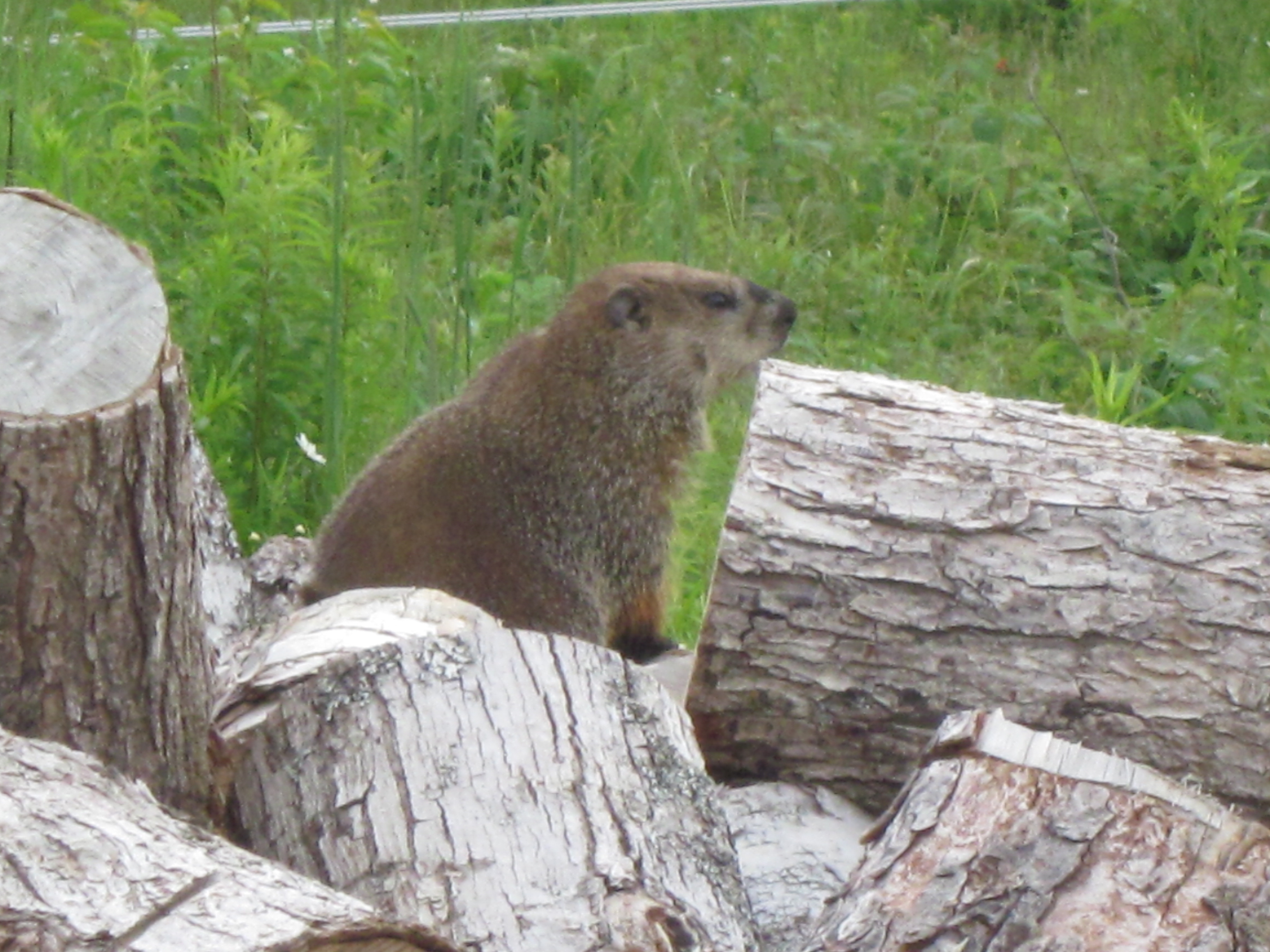 How Much If A Woodchuck Img