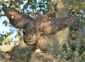 great_horned_owl_arlene_koziol_glamor