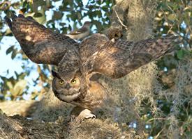 great_horned_owl_arlene_koziol_glamor