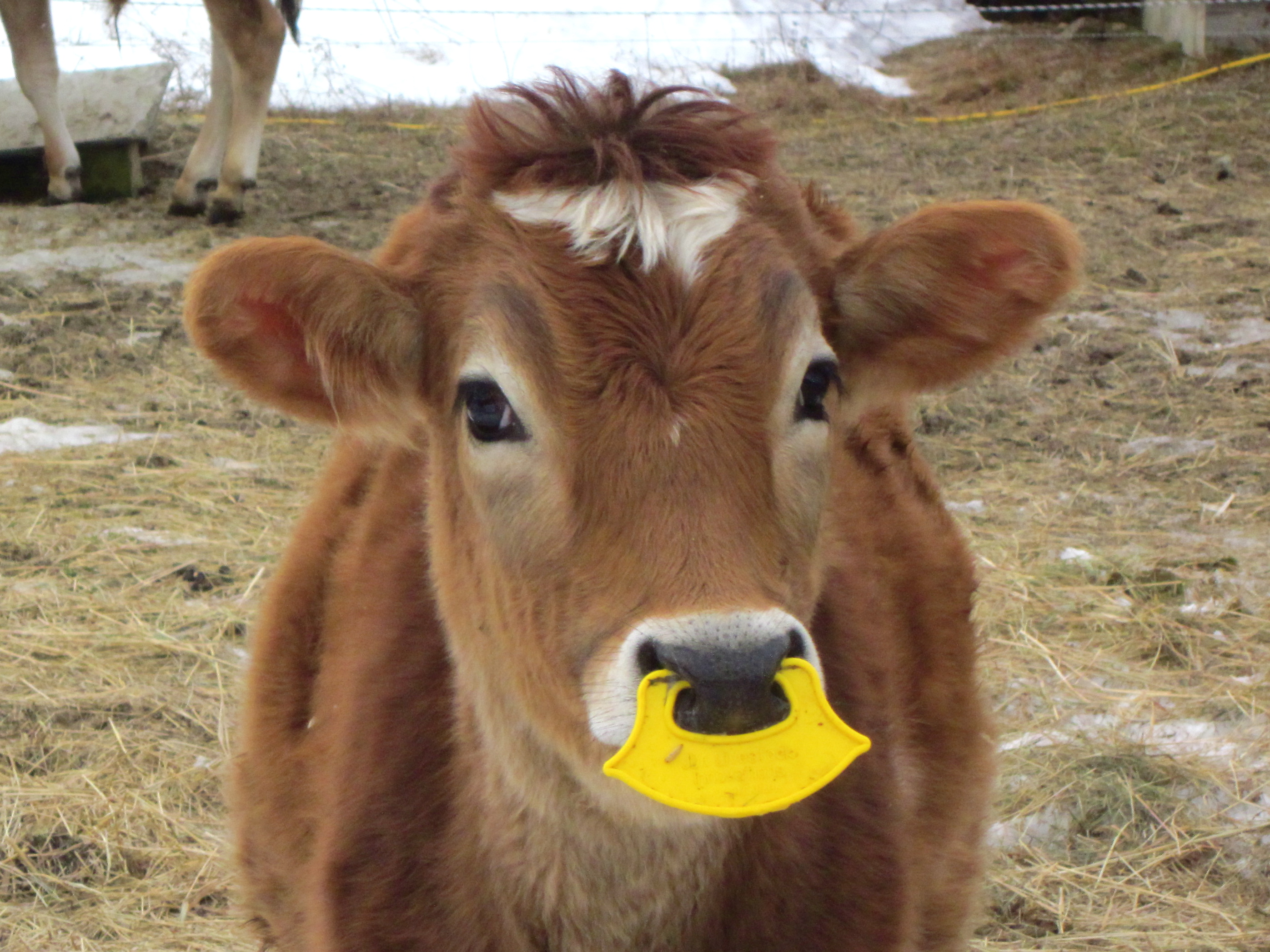 Calf Weaning Ring