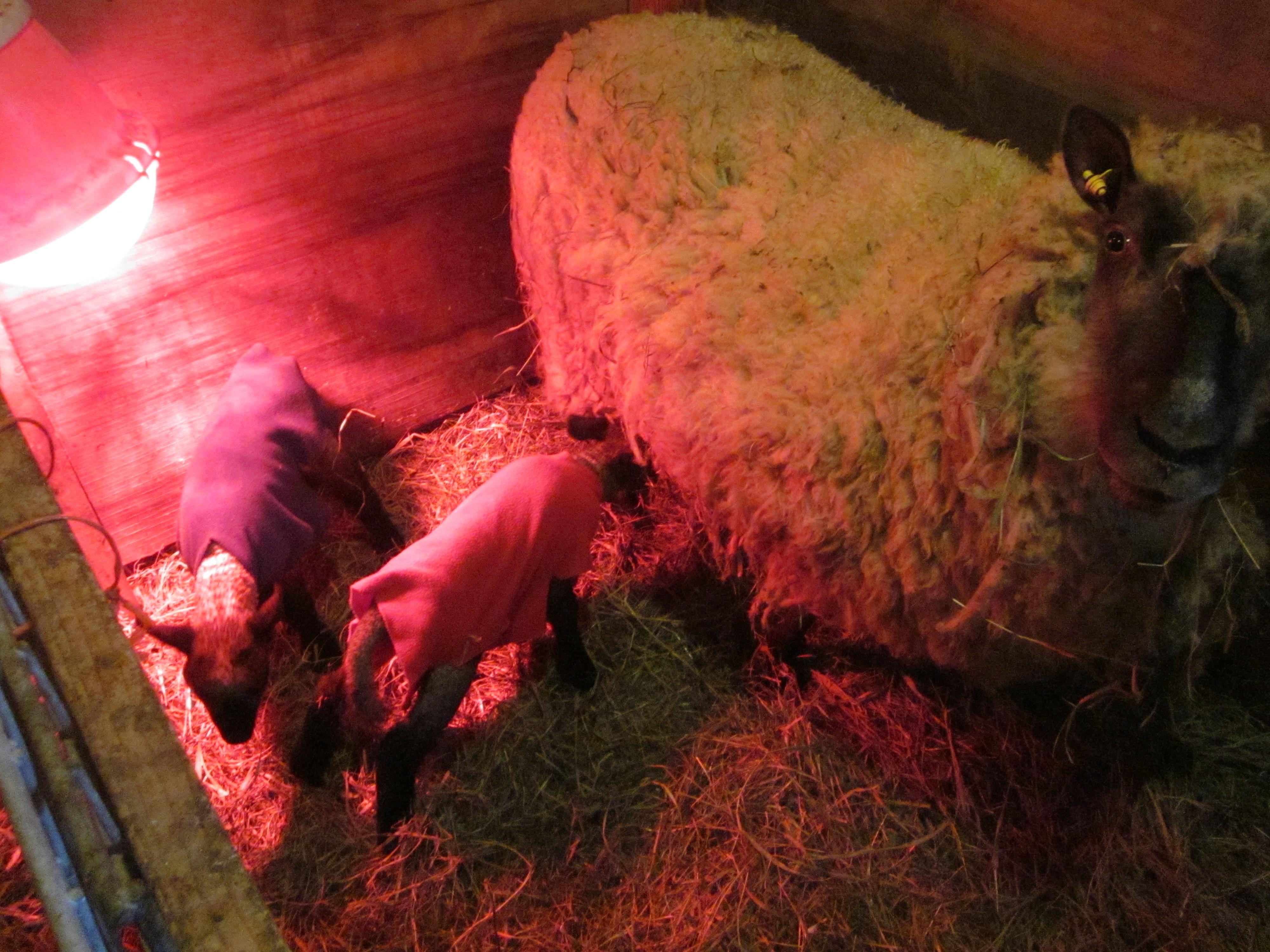 sheep   Fairhope Farm   Page 4